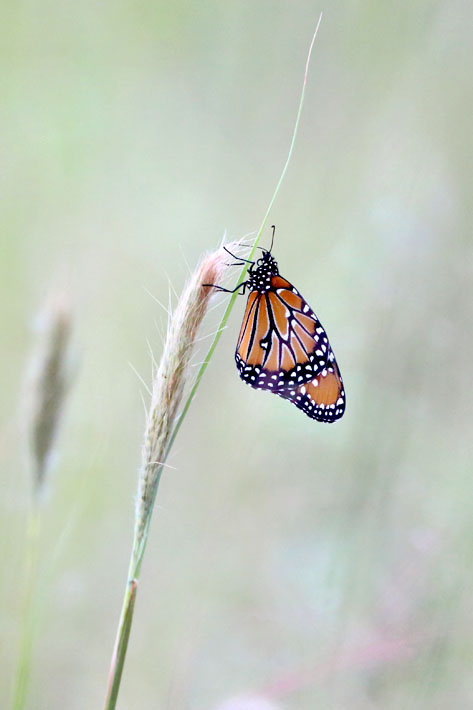 090312_02_butterfly_monarch02