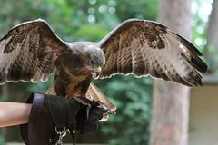 Hawk_4949