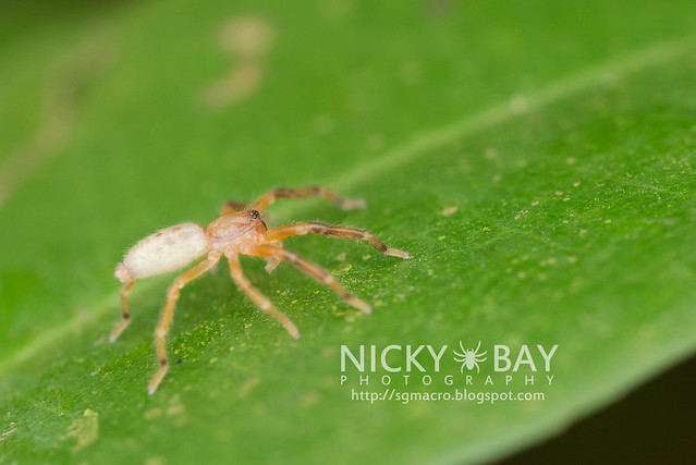 Huntsman Spider (Sparassidae) - DSC_4345
