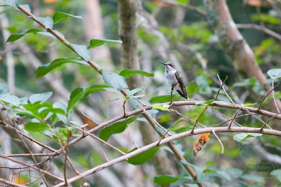Hummingbird_Sep062012_0008