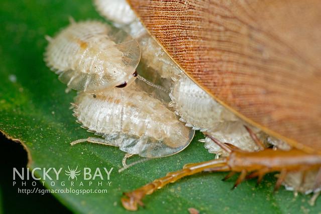 Forest Cockroach (Blattodea) - DSC_0861