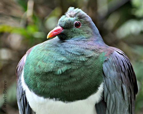 New Zealand Wood Pigeon - Kereru.