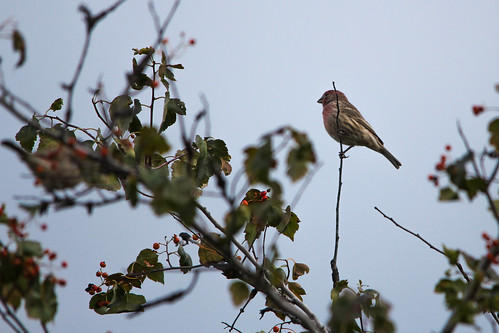 266/365: House Finch