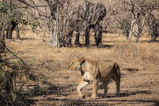 Lions Started by Elephants - Chobe