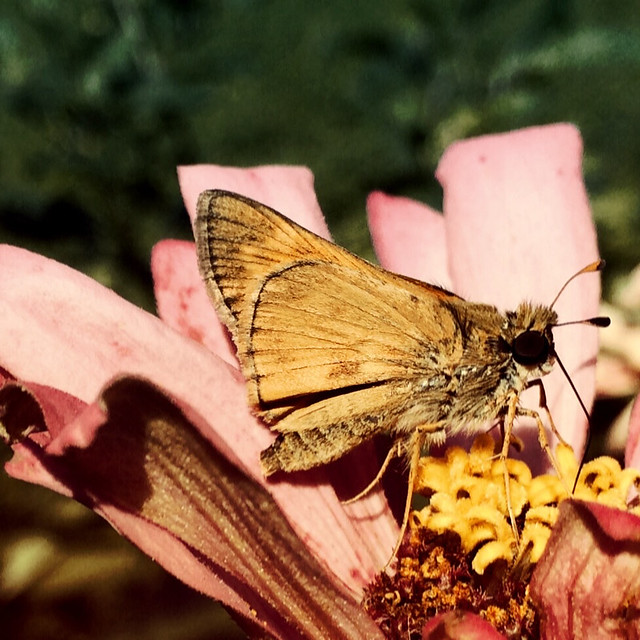 Hobomok Skipper and Zinnia