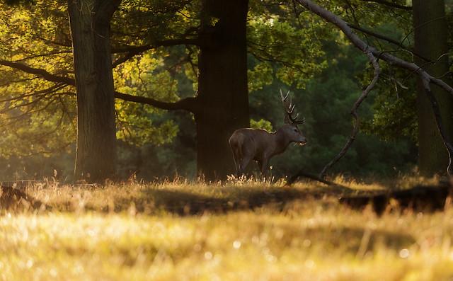 Deer in Woods II