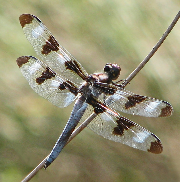 Twelve-spotted skimmers are in their glory