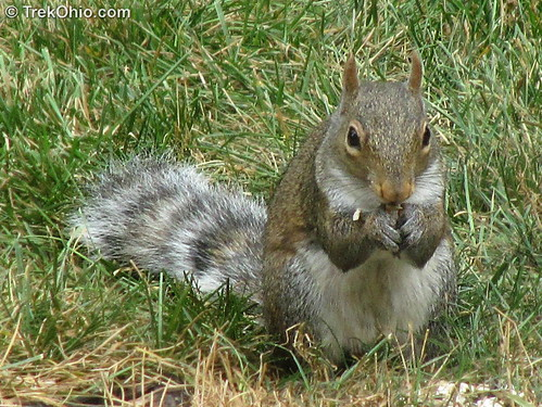 A ring-tailed, eastern gray squirrel