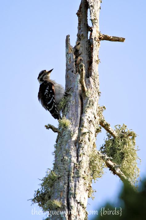072512_04_bird_woodpecker