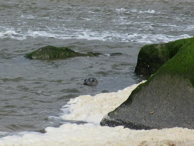 Seal near Holt