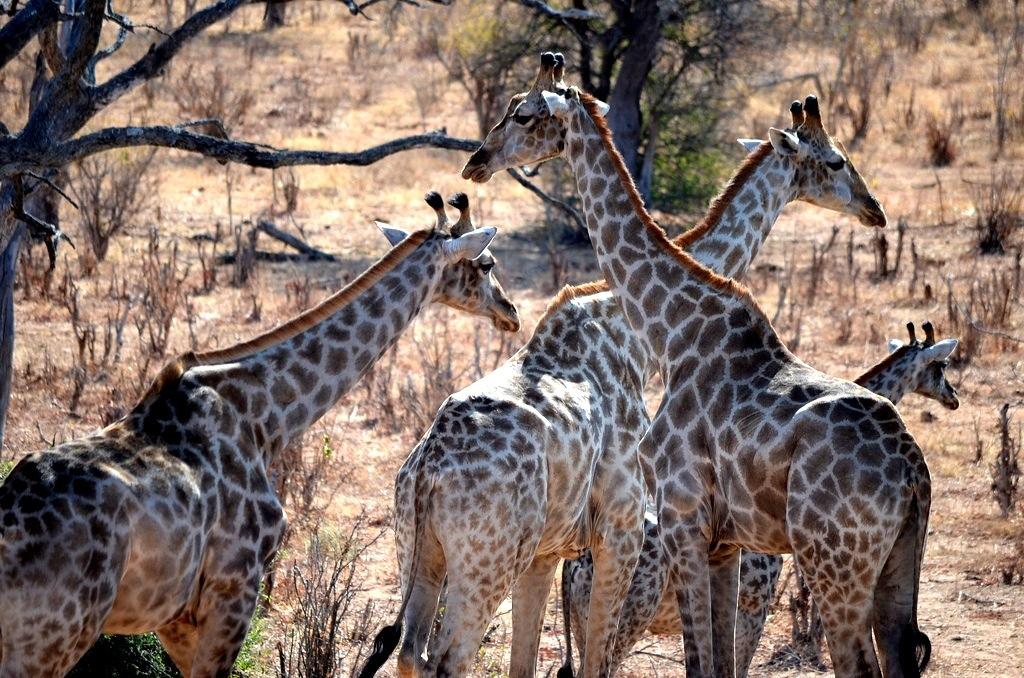 Botswana giraffes