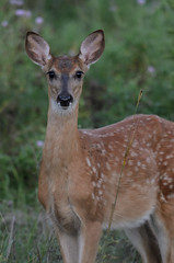 Fawn_5943.jpg by Mully410 * Images