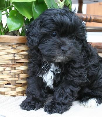 Black Shih-Poo Puppies