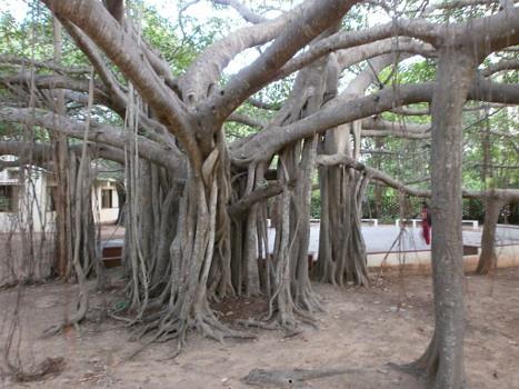 Nizhal-Tree-Walk-Kalakshetra-Banyan-Tree