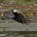 Bald Eagle flying with Salmon head in talon 1CGS4213