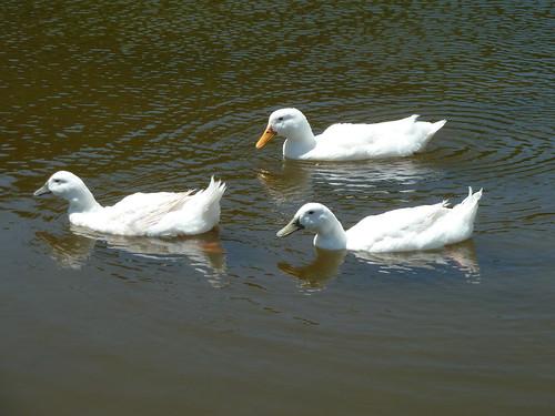 池を泳ぐアヒルたち