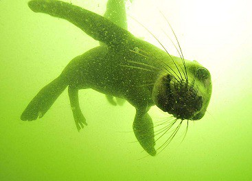 Diving with sea lions in Peru with Nature Expeditions (8)