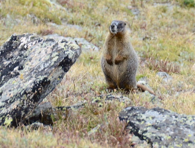 Marmot of the Mountain