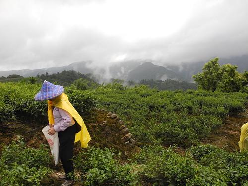 從日本明治學院遠道而來的學子,穿梭在台灣坪林茶園,走台灣藍鵲故鄉,為藍鵲茶努力。