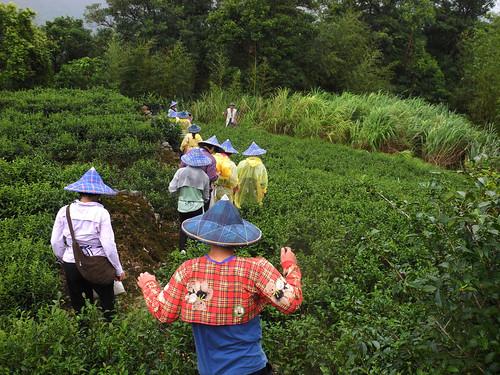 日本學子魚貫走進茶園。