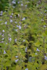 CALAMINTHA nepeta ssp. nepeta 'Blue Cloud'
