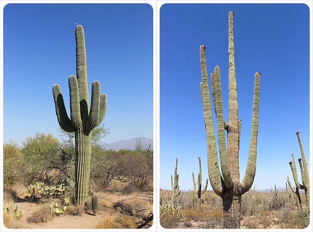 saguaro cacti in arizona