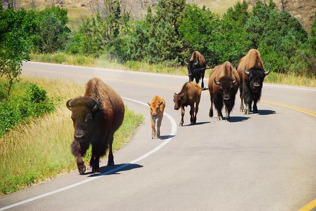 theodore roosevelt national park buffalo