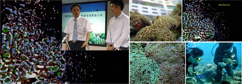 圖左為海大張請風校長(左)和養殖系博士後研究員識名 信也博士;右下圖為腎形真葉石珊瑚採樣,圖右上、圖中上、下為腎形真葉石珊瑚排出粉紅色卵和霧狀精子情況,兩者如結合發育,人工繁殖則成功。(海大 珊瑚研究團隊提供)