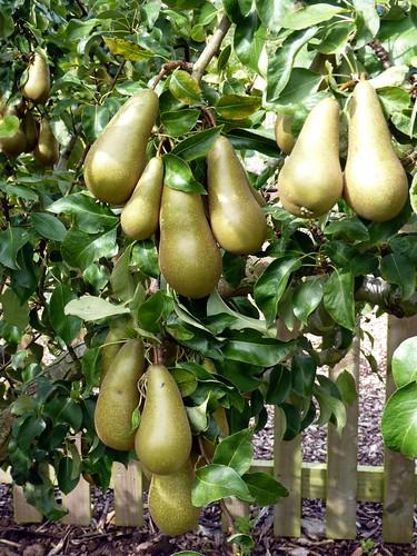 Pendulous Pears.