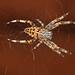 Garden Spider by Rosemond19