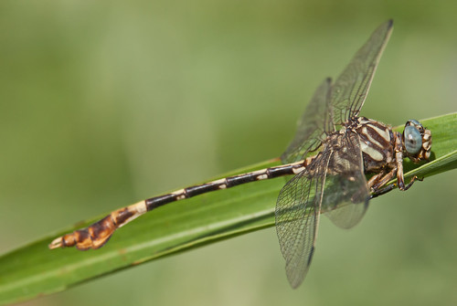 five-striped leaftail