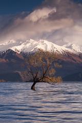 Lake Wanaka tree iii
