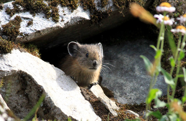 The Cutest Pika of the Day