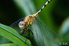 Dragon - Closeup