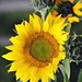 """Keep your face to the sunshine and you cannot see the shadow. It's what sunflowers do."" ~ Helen Keller"