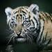 Tiger Cub 001 by Brookshaw Photography