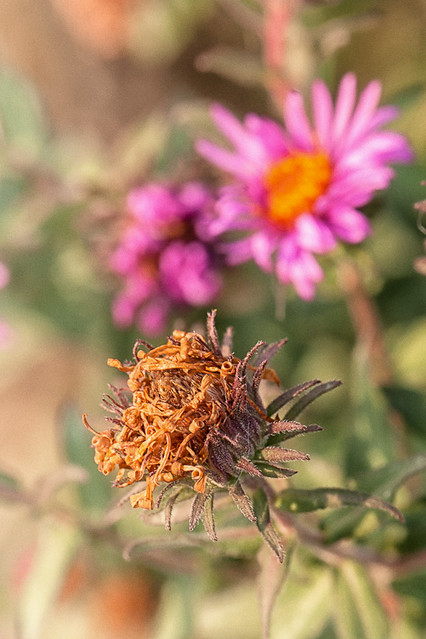Life Cycle of New England Asters