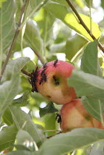 Boxelder bugs on an apple