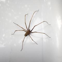 Big spider / Kraški pajek