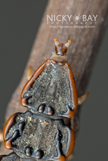 Trilobite Beetle (Platerodrilus sp.) - DSC_1967