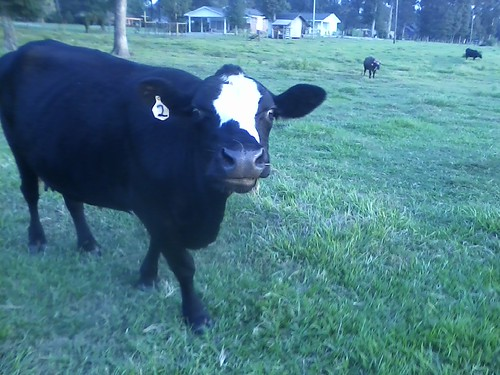 Googlie Eyed Cow