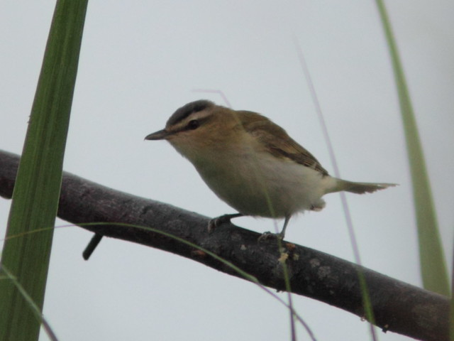 Red-eyed Vireo 20120924