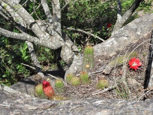 Lobivia huascha rubriflora RB3081