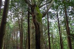 締め殺しの木