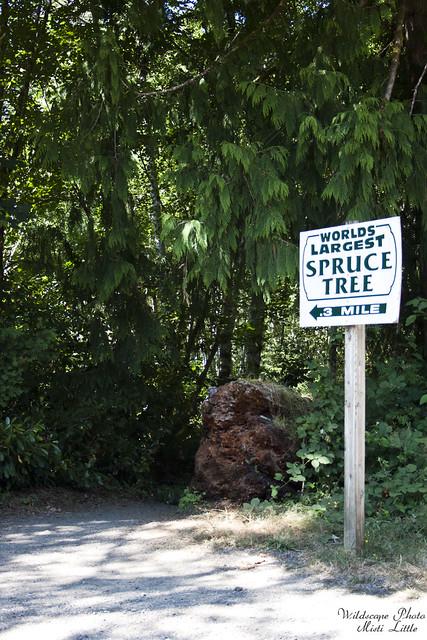 spruce15