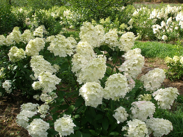 pee gee hydrangea pictures would