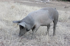 animal, domestic pig, pig, fauna, pig-like mammal, wildlife,