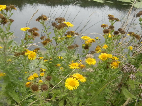 Fleabane on the Military Canal