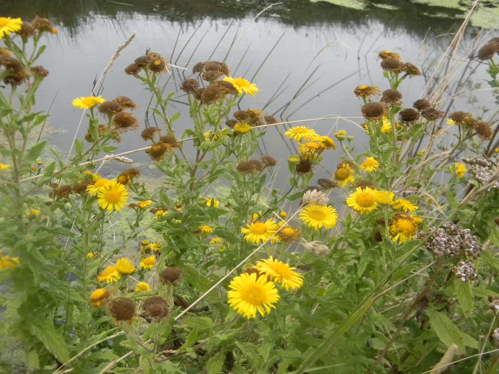 Fleabane on the Military Canal A lot of it about this weekend. Hastings to Rye