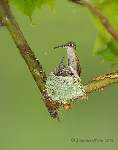 Ruby-Throated Hummingbirds nest